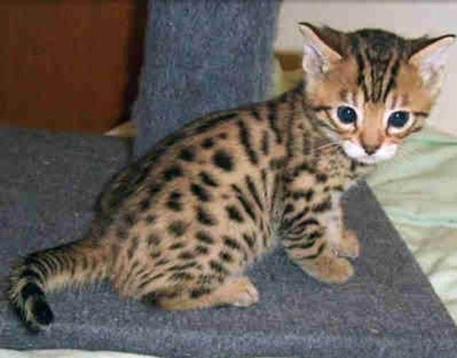 baby savannah savannah cat13