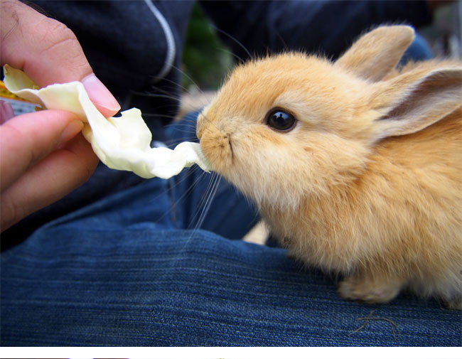 cute-rabbit-eating-lettuce-Island-Japan